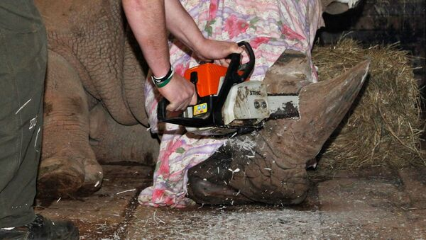 A rhino is dehorned by a zoo veterinary surgeon in its enclosure at Dvur Kralove Zoo - Sputnik Mundo