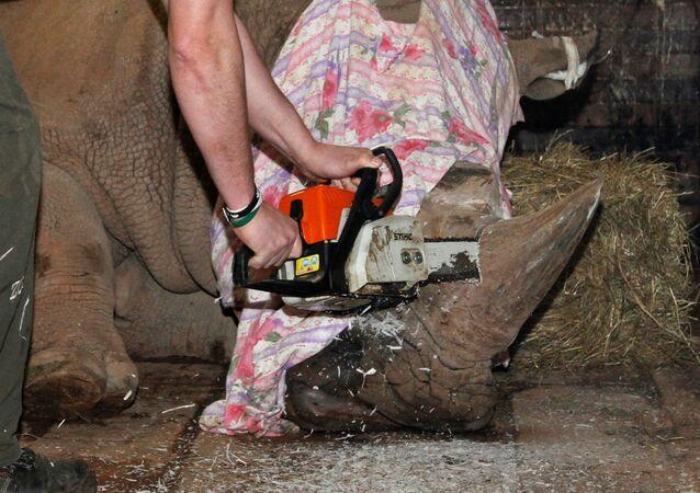 Un zoo en Chequia corta los cuernos a uno de sus rinocerontes
