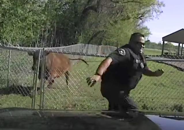 ¡Atrápame si puedes! Ternero fugitivo escapa de persecución policial