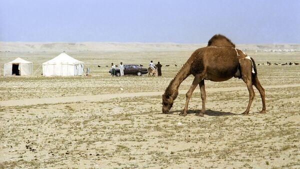 Un camello en Kuwait - Sputnik Mundo