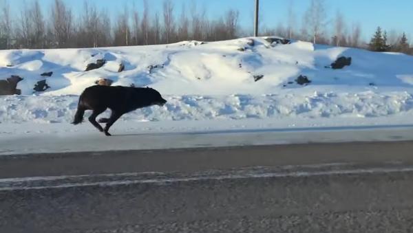 Dos enormes lobos escoltan a una mujer en Canadá - Sputnik Mundo