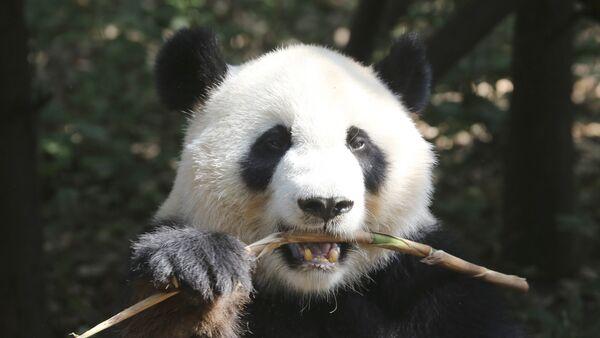 Oso panda - Sputnik Mundo