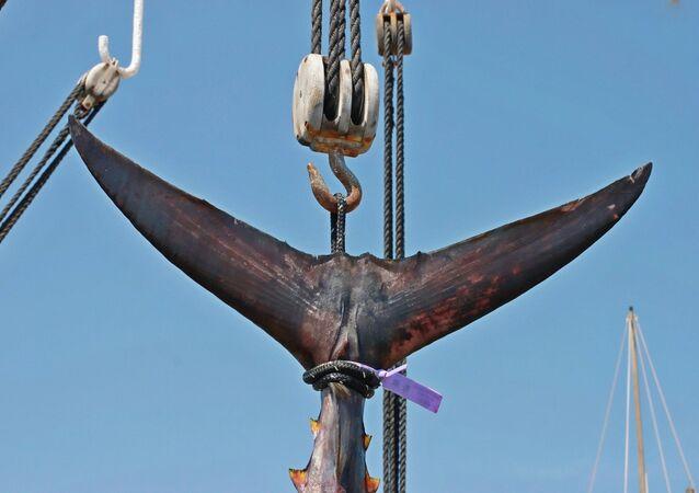 Cola de atún (imagen referencial)