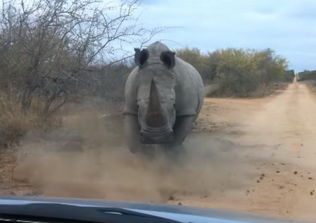 Un rinoceronte-acosador siembra el pánico en Nepal