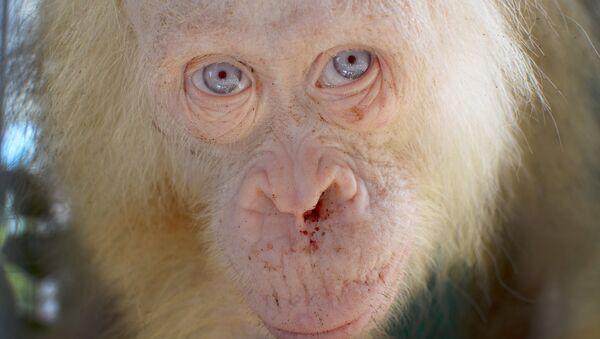 Orangután albino - Sputnik Mundo