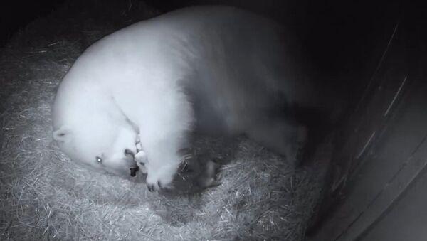 La osa polar Liya con sus dos oseznos en el parque acuático Sea World, en Australia - Sputnik Mundo