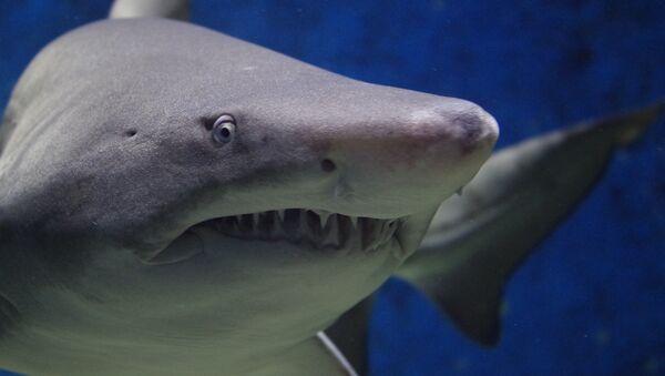 Shark - Sputnik Mundo