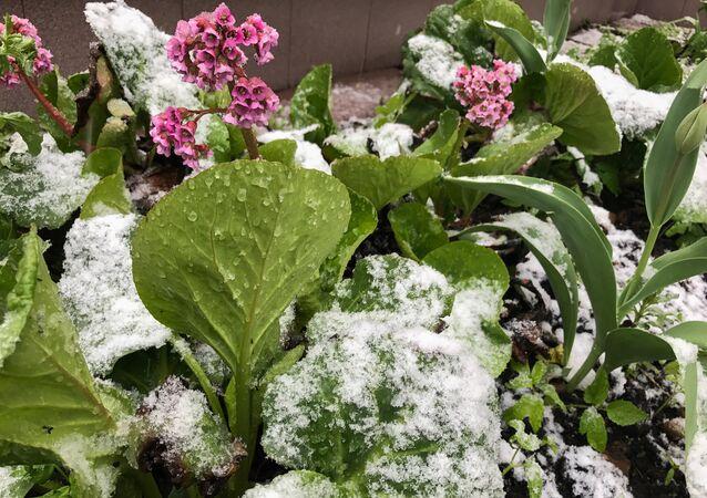 Flores cubiertas de nieve durante la nevada del 8 de mayo en Moscú