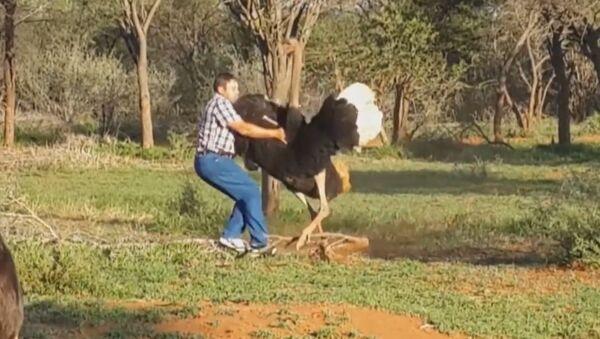 Un gigantesco avestruz enfurecido ataca a un hombre - Sputnik Mundo