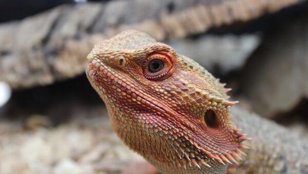 Lagarto dragón barbudo - Sputnik Mundo
