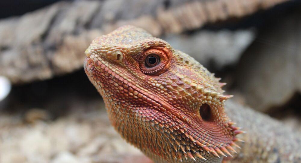 Lagarto dragón barbudo
