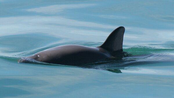 Vaquita de mar - Sputnik Mundo