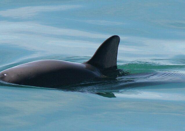 Vaquita de mar