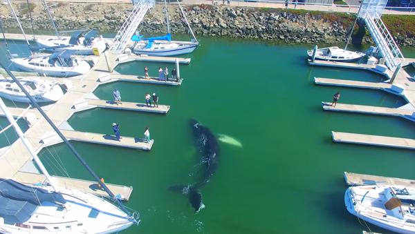 Una ballena monstruosa asusta a los residentes de California - Sputnik Mundo