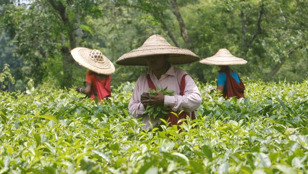 Trabajadores del jardín de té en la India - Sputnik Mundo