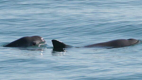 Vaquitas marinas (imagen referencial) - Sputnik Mundo