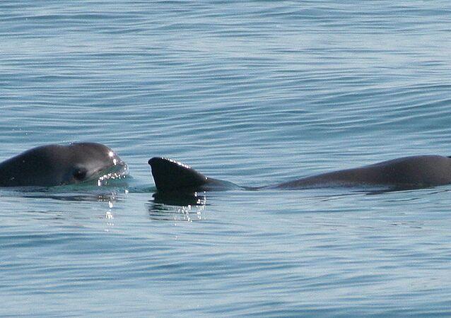 Vaquitas marinas (imagen referencial)