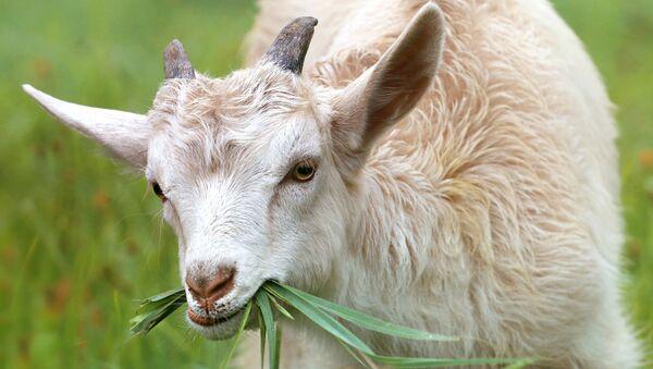 Una cabra (imagen referencial) - Sputnik Mundo