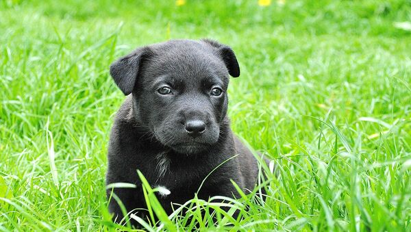 Cachorro - Sputnik Mundo