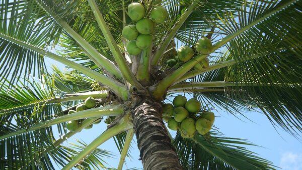 Palma de coco - Sputnik Mundo