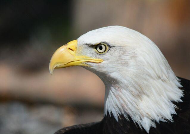 La cabeza de un águila (imagen referencial)