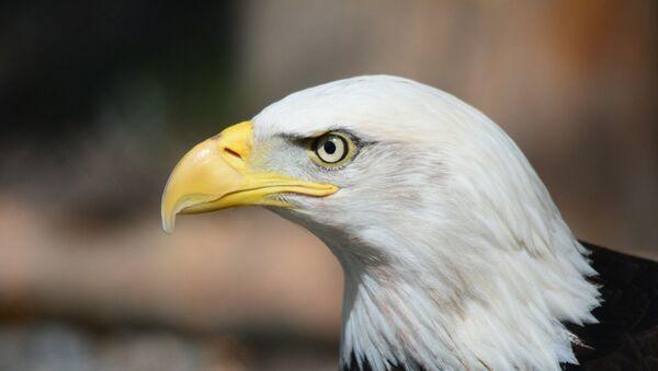La cabeza de un águila (imagen referencial) - Sputnik Mundo