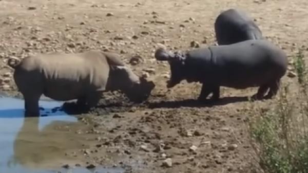 No es lo que parece: un hipopótamo mata a un rinoceronte por beber en su charca - Sputnik Mundo
