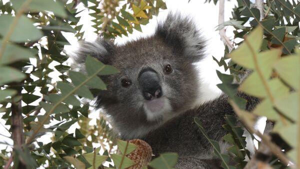 Un koala (archivo) - Sputnik Mundo