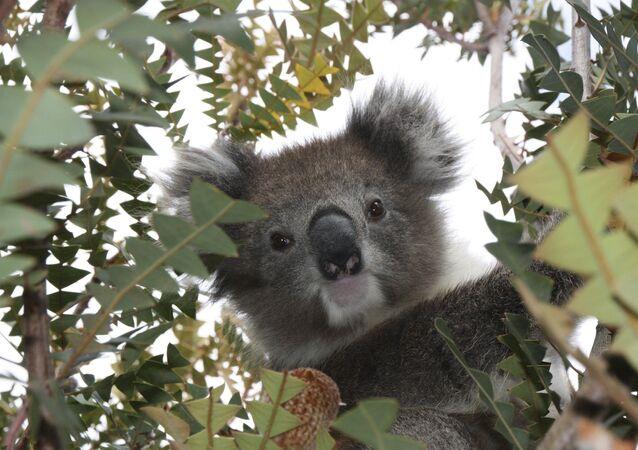 Un koala (archivo)