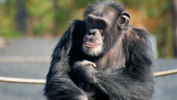 Un chimpancé - Sputnik Mundo