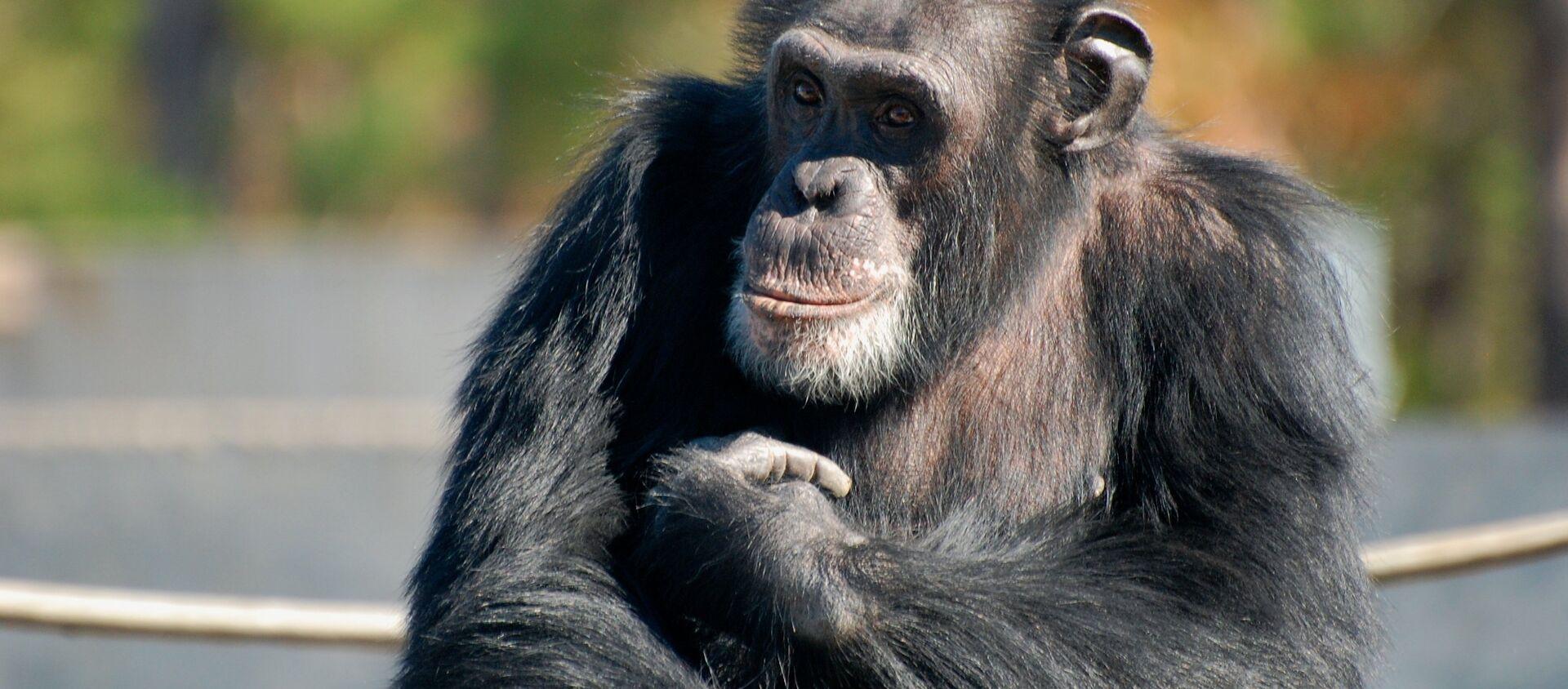 Un chimpancé - Sputnik Mundo, 1920, 24.11.2020