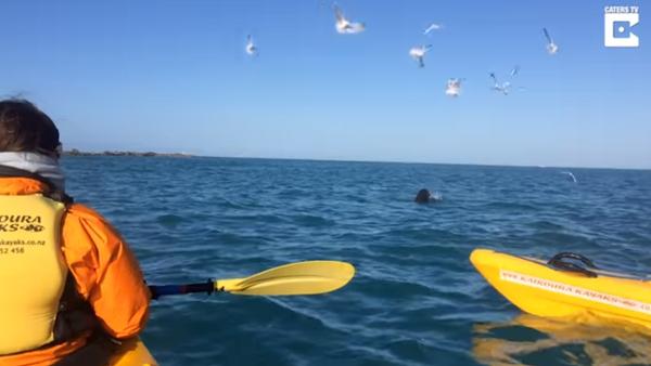 Increíble pelea a muerte entre un león marino y un pulpo gigante - Sputnik Mundo