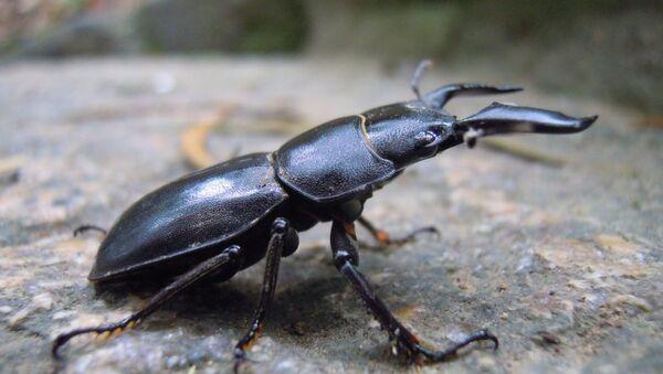 Un escarabajo ciervo - Sputnik Mundo