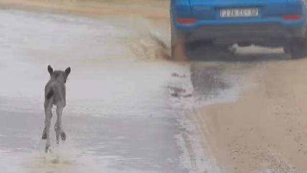 Un pequeño antílope sigue a un automóvil - Sputnik Mundo