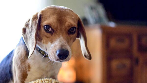 Un perro de la raza beagle (imagen referencial) - Sputnik Mundo
