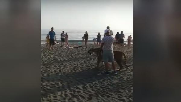Un invitado salvaje en una playa rusa: un hombre pasea un tigre de Amur - Sputnik Mundo