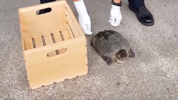 ¡Quita tus manos de mí! Una tortuga ninja se enfrenta a un policía - Sputnik Mundo