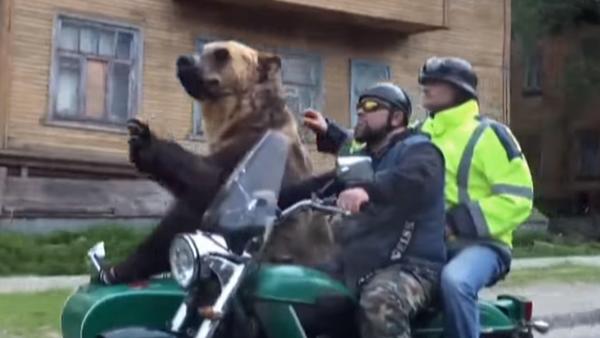 Mientras tanto, en Rusia: un oso pasea en sidecar por las calles de Arjánguelsk - Sputnik Mundo