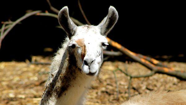 Llama - Sputnik Mundo