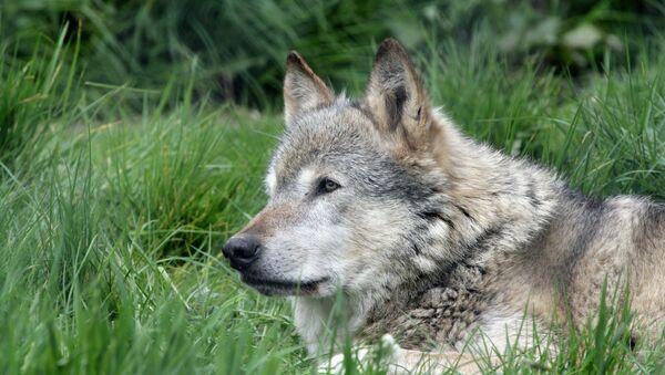 Lobo salvaje - Sputnik Mundo
