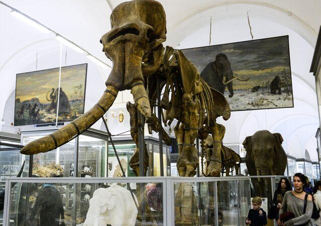 El esqueleto de mamut en un museo (imagen referencial)