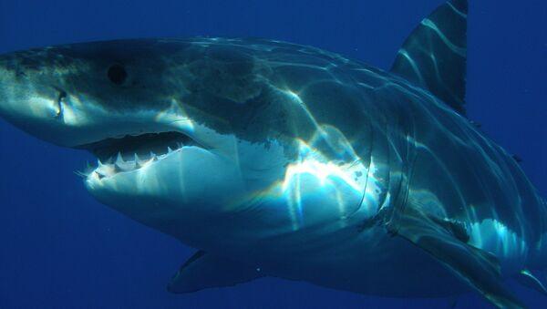 Un tiburón blanco - Sputnik Mundo