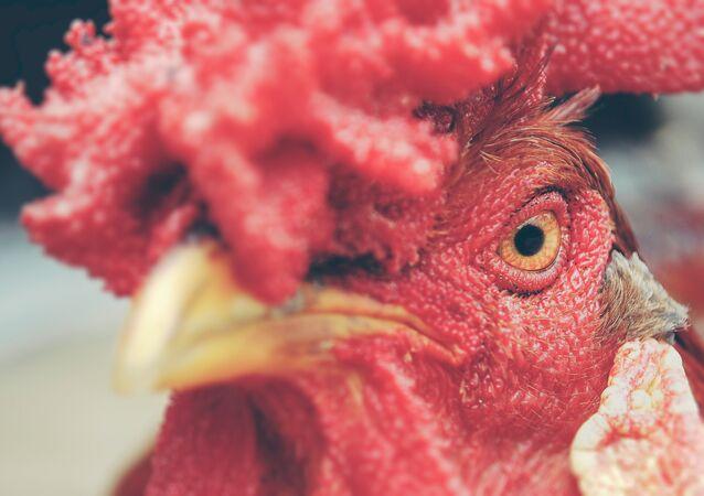 Un gallo (imagen referencial)