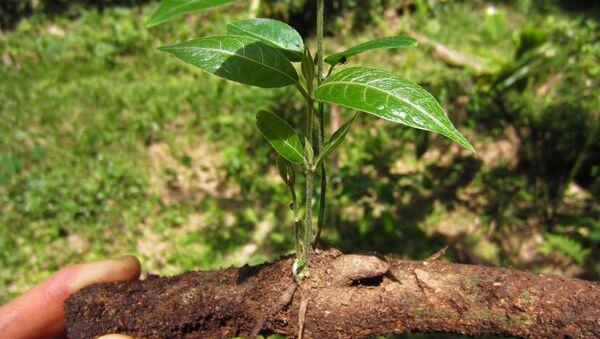 'Banisteriopsis caapi', una de las plantas de las que se obtiene la ayahuasca - Sputnik Mundo