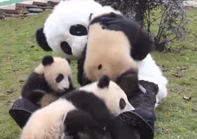 Cuidador vestido de panda jugando con pandas