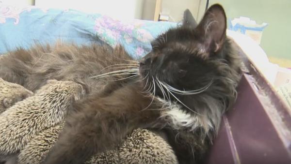 La gata Musia que salvó a unos erizos bebé - Sputnik Mundo