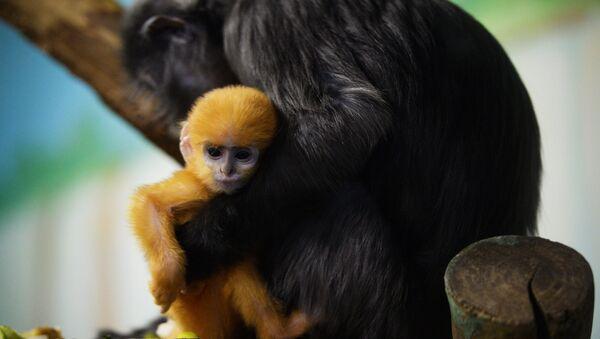 La hembra de surilis con su bebé en el parque zoológico en Novosibirsk - Sputnik Mundo