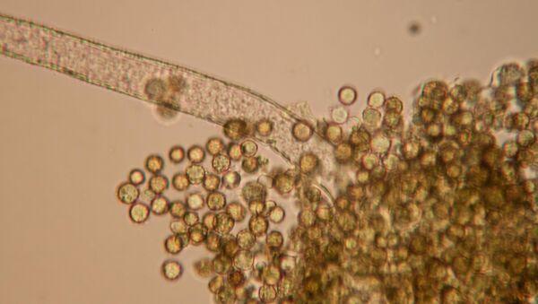Muestras de aflatoxinas, una peligrosa sustancia capaz de provocar cáncer (imagen referencial) - Sputnik Mundo