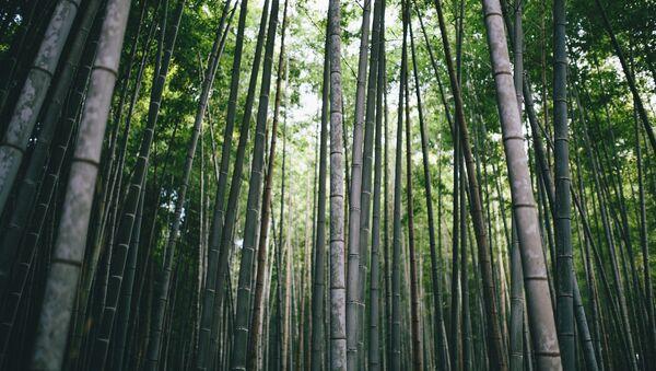 Bambú (imagen referencial) - Sputnik Mundo
