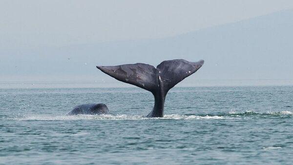Una ballena boreal - Sputnik Mundo